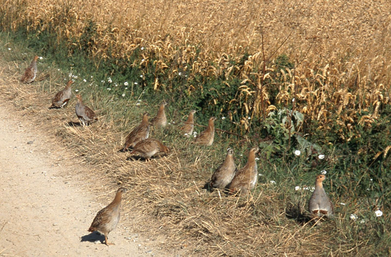 Covey of grey partridges