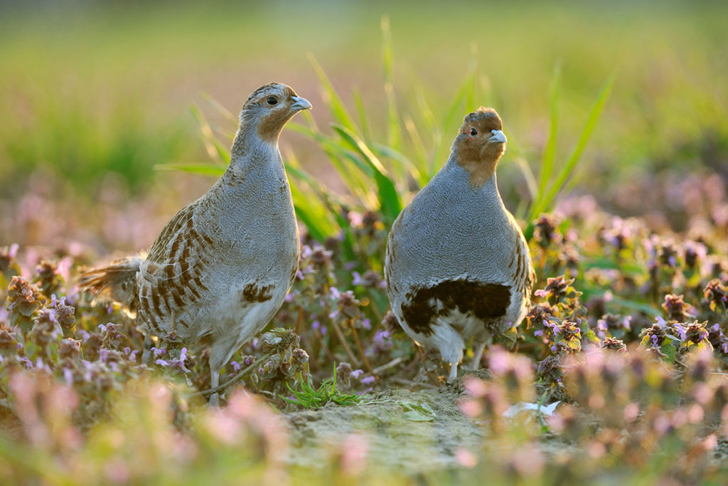 Grey partridge pair (Credit: Rollin Verlinde)