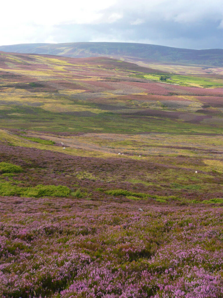 Heather bloom at Gairnshiel